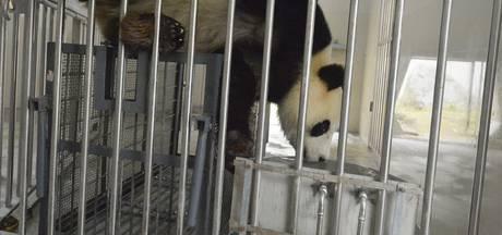 Panda's in Rhenen: 'Feel good ten koste van de natuur'