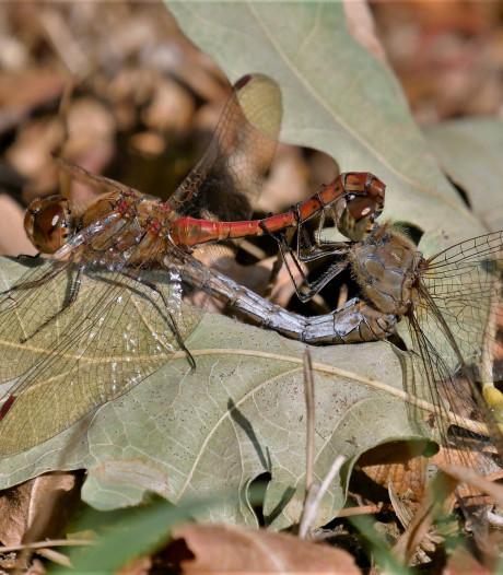 Heidelibellen vliegen nog steeds bij poelen en vennen