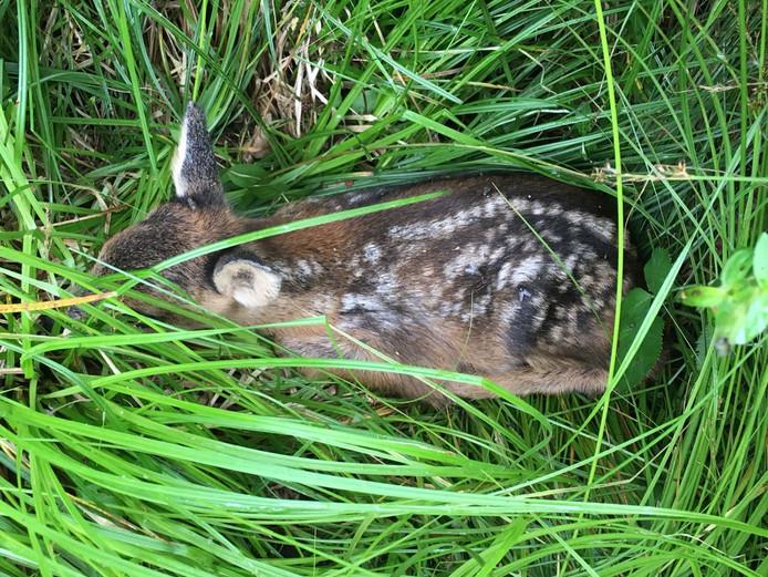 Een kalfree verschuilt zich in het hoge gras nabij de eendenkooi van Batenburg.