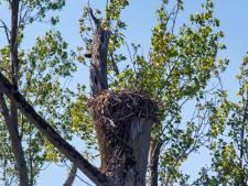 Hebben de andere arenden in de Biesbosch het net zo goed als het webcamkoppeltje? 'Ze voelen zich hier thuis'