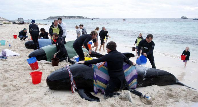 In 2009 strandden al meer dan tachtig walvissen en dolfijnen op hetzelfde strand. Geen enkele vis overleefde toen de stranding.