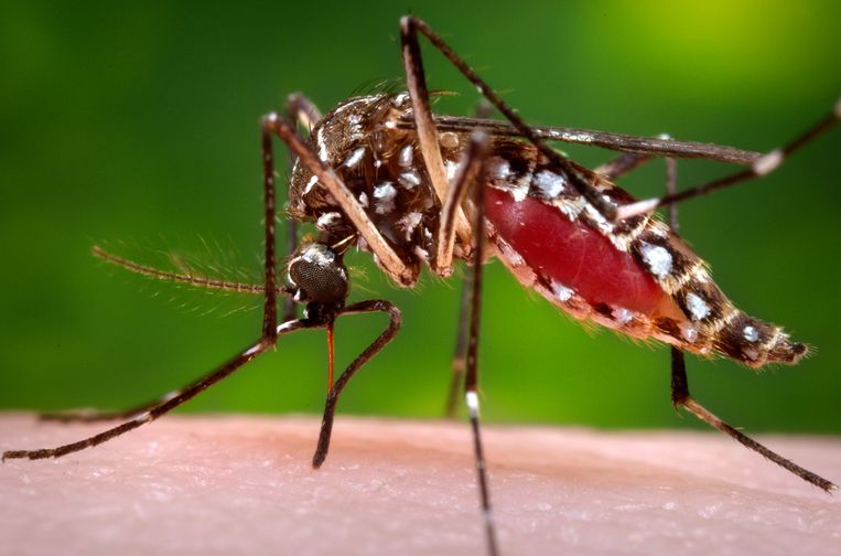 Aedes aegypti. Beeld AP