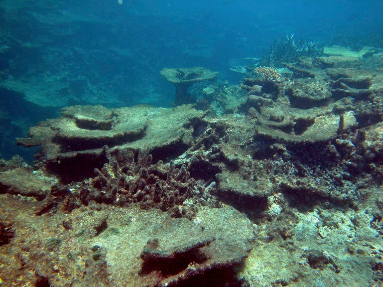 De schade die werd aangericht door doornenkronen op Beaver Reef in het Great Barrier Reef. Beeld Reuters