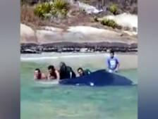 Sauvetage d'une jeune baleine à bosse échouée sur une plage au Brésil