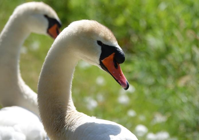 Nadat hun kuikens bezweken stierven ook moeder en vader zwaan aan botulisme, in de vijver aan de Kayersdijk in Apeldoorn. Waarom moest het daarvan komen en werden de dieren niet gered?