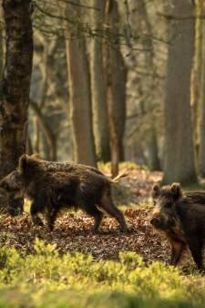 Nieuw rapport: aantal veehouderijen rond de Veluwe moet fors omlaag vanwege stikstof