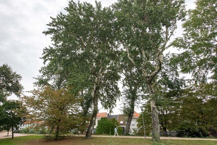 De te kappen, zeventig jaar oude abelen in het Koning Willem I-park aan de westkant van de Terneuzense binnenstad.