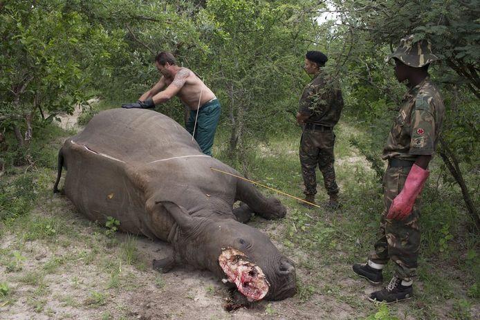 La poudre extraite des cornes de rhinocéros peut se vendre jusqu'à 48.000 euros le kilo. En dépit d'une croyance populaire, elle n'a aucune vertu thérapeutique.
