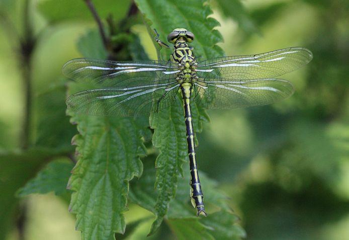 Archieffoto: een zojuist uitgeslopen rivierrombout hangt in de vegetatie. De vleugels vertonen in zo'n geval een prachtige glans.