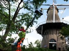 De bomen rondom de Prins van Oranje molen mogen niet boven de molen uitkomen, en dus worden ze gekortwiekt