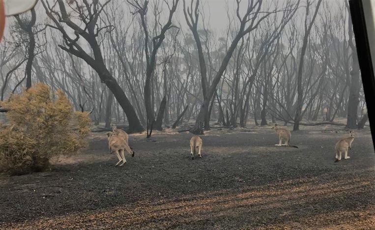 De natuurlijke habitat van de kangoeroes in Mallacoota ligt helemaal in de as.