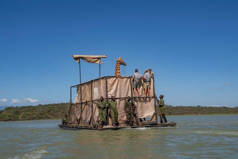 Een reddingsteam vervoert een Rothschild-giraf over het Baringo-meer in Kenia naar een veilig gebied.   Beeld Reuters