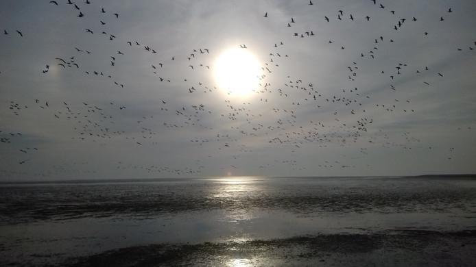 Spreeuwen boven de Noordzee bij Ameland. Ze trekken er met z'n allen op uit.