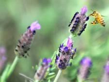 Les pesticides perturbent le cerveau des abeilles