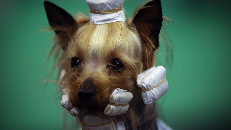 De hondjes van Depp zijn Yorkshire terriërs, zoals dit exemplaar op een hondenshow in Birmingham. Beeld Getty Images