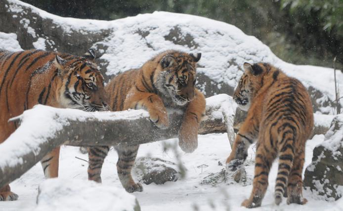 Sumatraanse tijgers ravotten in de sneeuw.