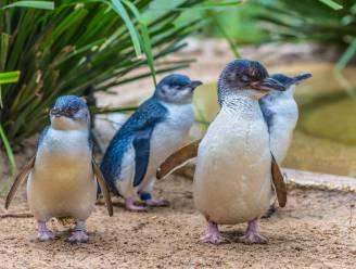 Tasmaanse duivels richten ravage aan op Australisch eiland: 6.000 pinguïns uitgeroeid