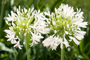 Witte Agapanthus