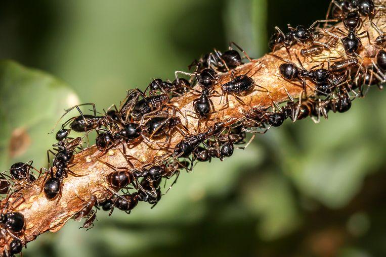Bladluizen die gehoed en gemolken worden door mieren. 'De bladluizen waren voor mij een kantelpunt. Vanaf die tijd begon ik insecten te verdedigen en te propageren.' Beeld Aglaia Bouma