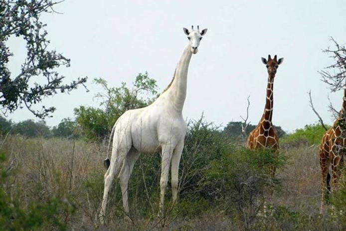 La femelle était la seule recensée au Kenya, déplore la réserve qui l'abritait