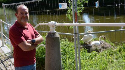 """Nadarhekken en camerabewaking voor broedend koppel zwanen: """"Al tien jaar lang verdwijnen eieren"""""""