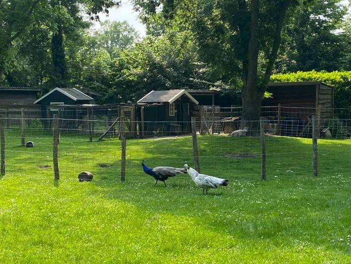 De pauwen bij het kippenhok van het Thomashuis in Olst
