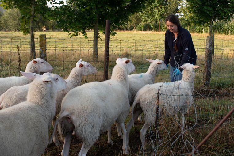 Krista De Winne tussen de schapen.