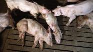 Colruyt en Delhaize zetten samenwerking met vleesfabrikant stop na schokkende beelden dierenmishandeling