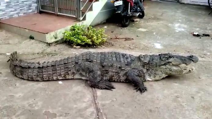 Krokodil rust uit langs kant van de weg