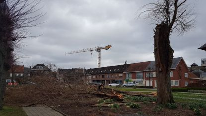 Oude boom in parkje Gravin Elisabethlaan sneuvelt (video)