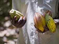 Les bienfaits insoupçonnés du cacaoyer: plus de 500.000 arbres plantés grâce aux citoyens