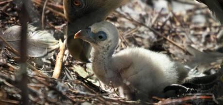 Homostel vale gieren brengt voor het eerst jong groot in Artis