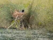 Boswachter prijst Meerkoet om 'Biesbosch-proof' nest