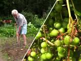 Volkstuinder Henk ziet oogst wegrotten door koud en nat weer: 'Het zit niet mee'