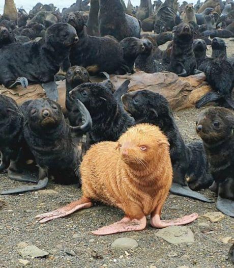 Wetenschappers vinden 'lelijk eendje' in zeehondenkolonie voor Russische kust