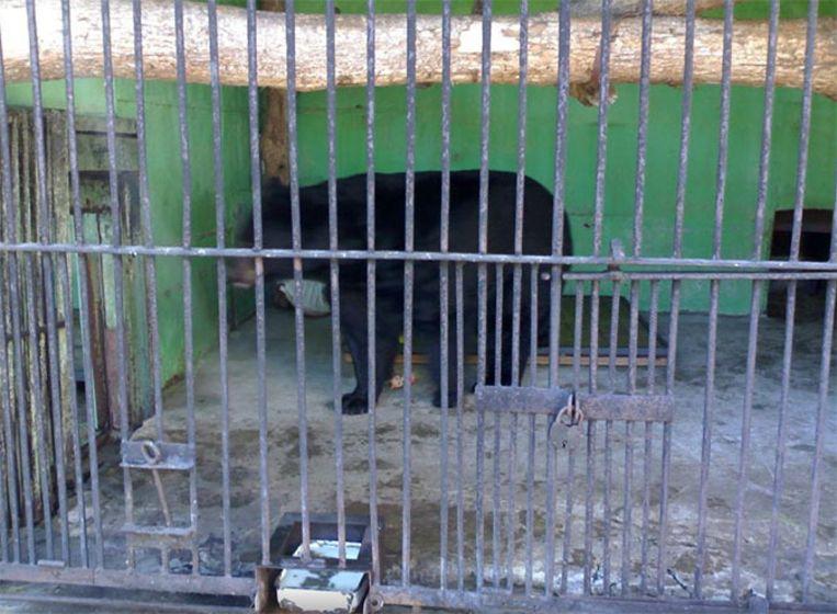 Berenwijfje Varvara gefotografeerd door een bezoeker van de Leningradsky Zoo. Beeld Tripadvisor/Saint Petersburg Zoo