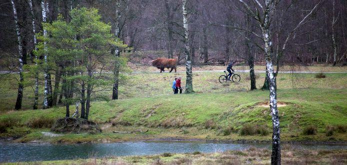 Voorheen een vertrouwd beeld in de Boswachterij Dorst: een Schotse hooglander geflankeerd door wandelaars en een moutainbiker.
