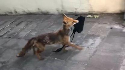 Brusselaar filmt hoe vos met handtas aan de haal gaat