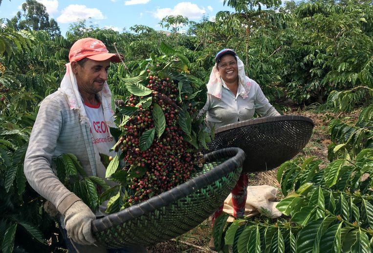 Koffieboeren in Brazilië in betere tijden.  Beeld REUTERS