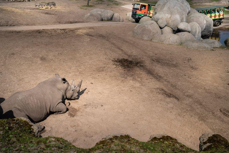 Een neushoorn in Wildlands Emmen. Beeld Reyer Boxem