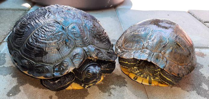 Foto ter illustratie: twee waterschildpadden.