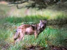 Veehouders moeten zich voorbereiden op komst van de wolf: schadevergoeding op de schop