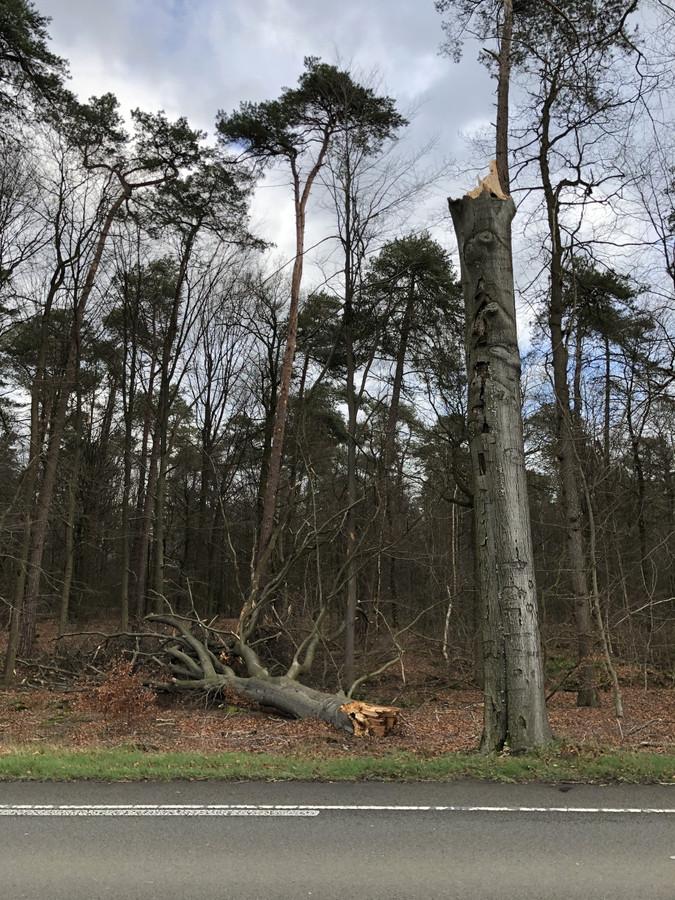 Zeven bomen aan de N319 tussen Ruurlo en Vorden waren er al slecht aan toe en werden door de storm Ciara nog verder aangetast. Ze worden vandaag gekapt door Provincie Gelderland.