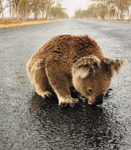 Uitgedroogde koala drinkt water van asfalt: 'Hij was te dorstig en wilde niet weg'