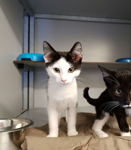 Dierenasiel de Bevelanden zit tjokvol katten: 'Mensen kunnen weer op vakantie en sommigen doen dan hun huisdier weg'