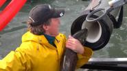 Dit 'zalmkanon' schiet vis voorbij dammen