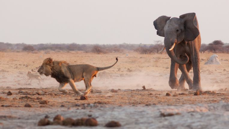Bijna alle wilde dieren die Afrika nog kent, zijn in Botswana te vinden. Beeld getty