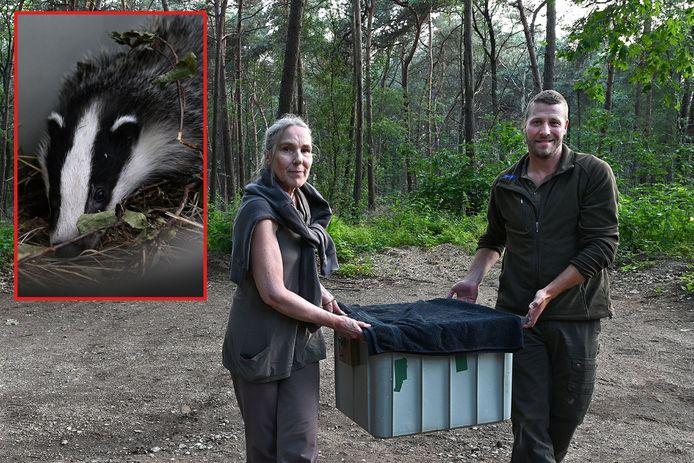 Das Bartje was gewond gevonden in de Mookse bossen maar is nu weer voldoende hersteld om uit te zetten bij de burcht van zijn moeder.
