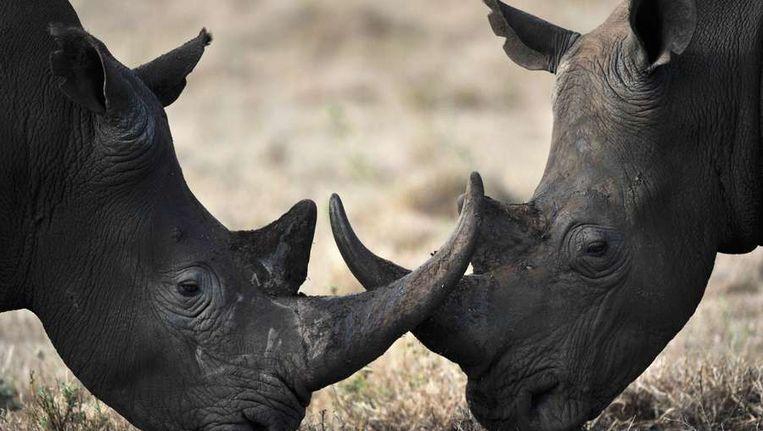 Twee neushoorns in Kenia Beeld afp