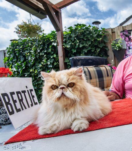Kat Nigel - iedere Vierdaagseloper kende hem - is dood, maar heeft opvolger Bertje wel zin in 'effe kroelen'?